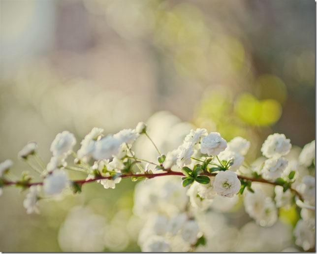 teeny white blossomsweb