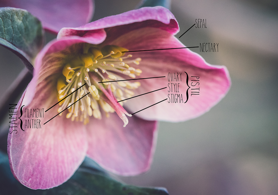 everything you wanted to know about hellebores but were afraid to ask