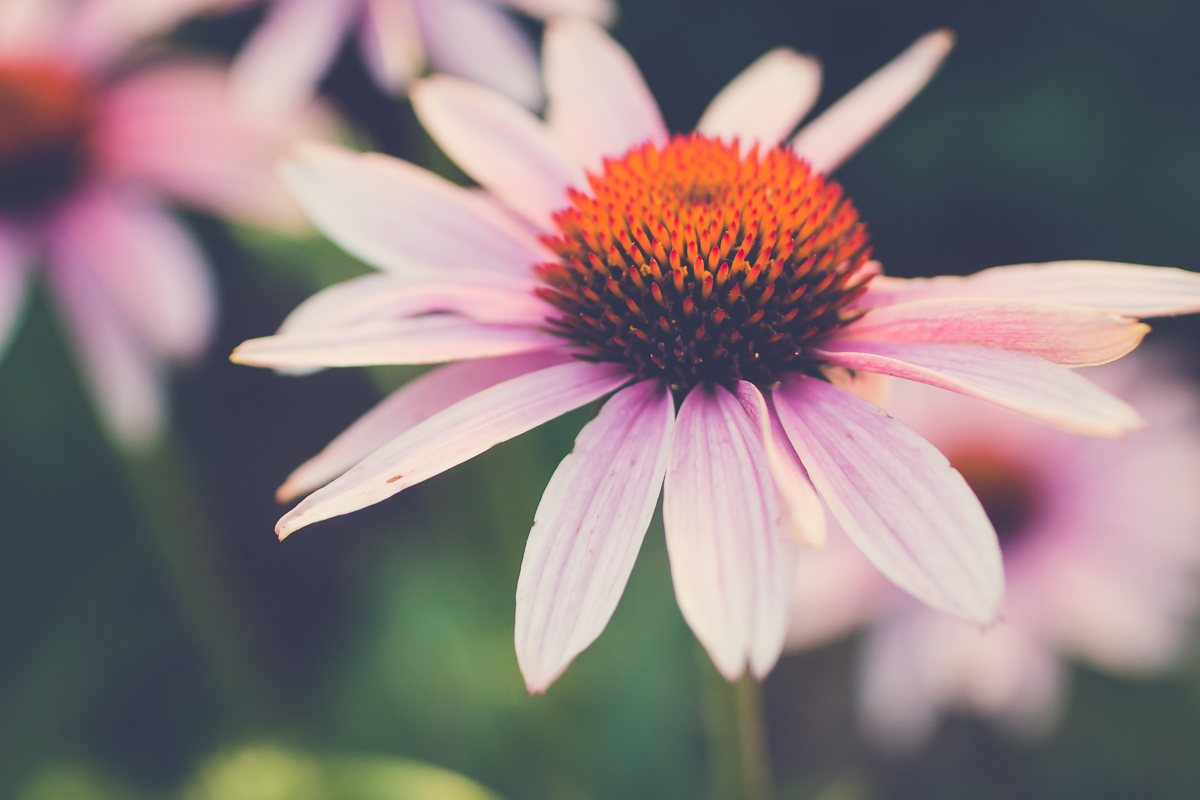 coneflowers revisited