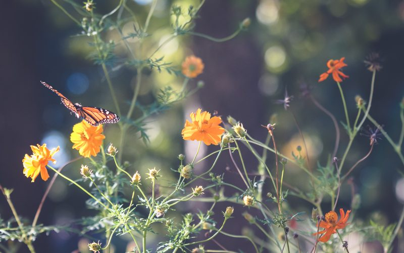 Capturing the Magic of Monarch Butterflies