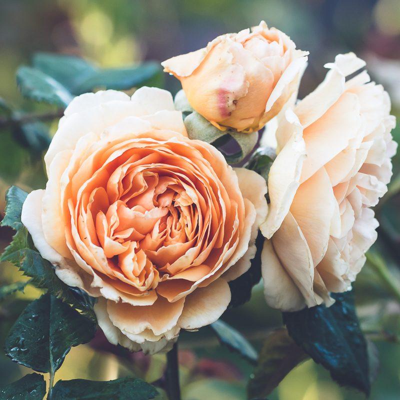 May and Roses