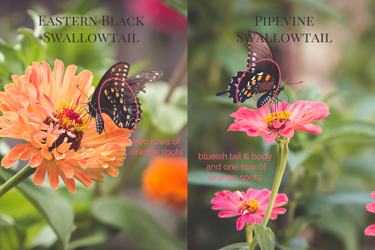 Swallowtail Butterfly Comparison