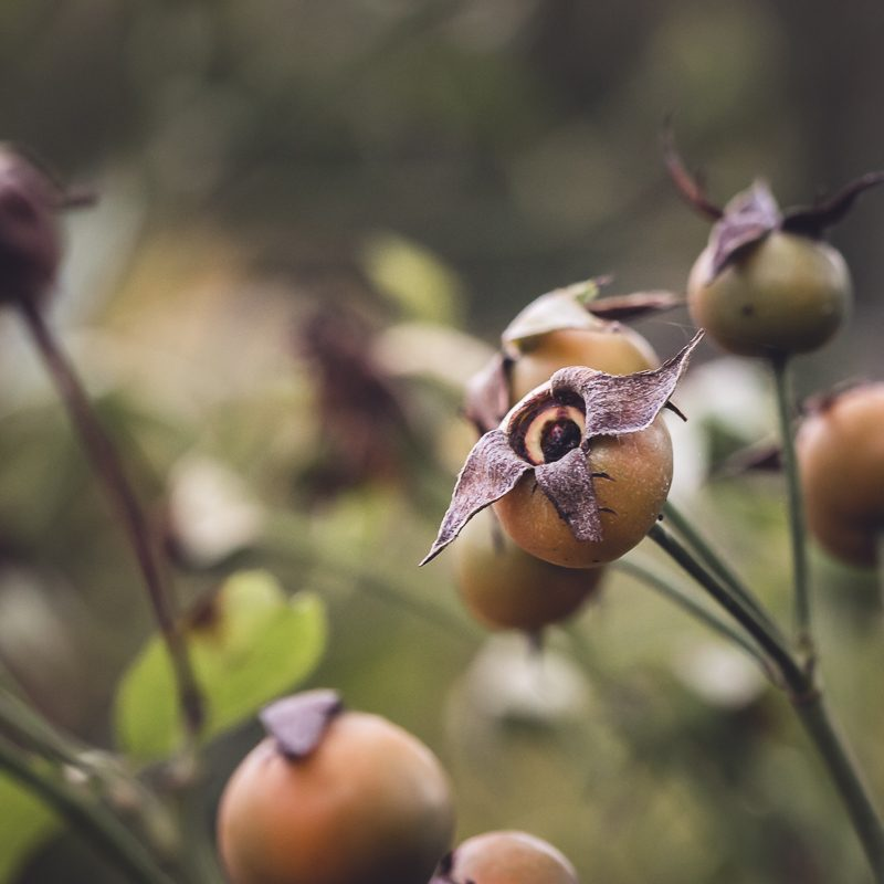 Lovely and Shapely Rose Hips