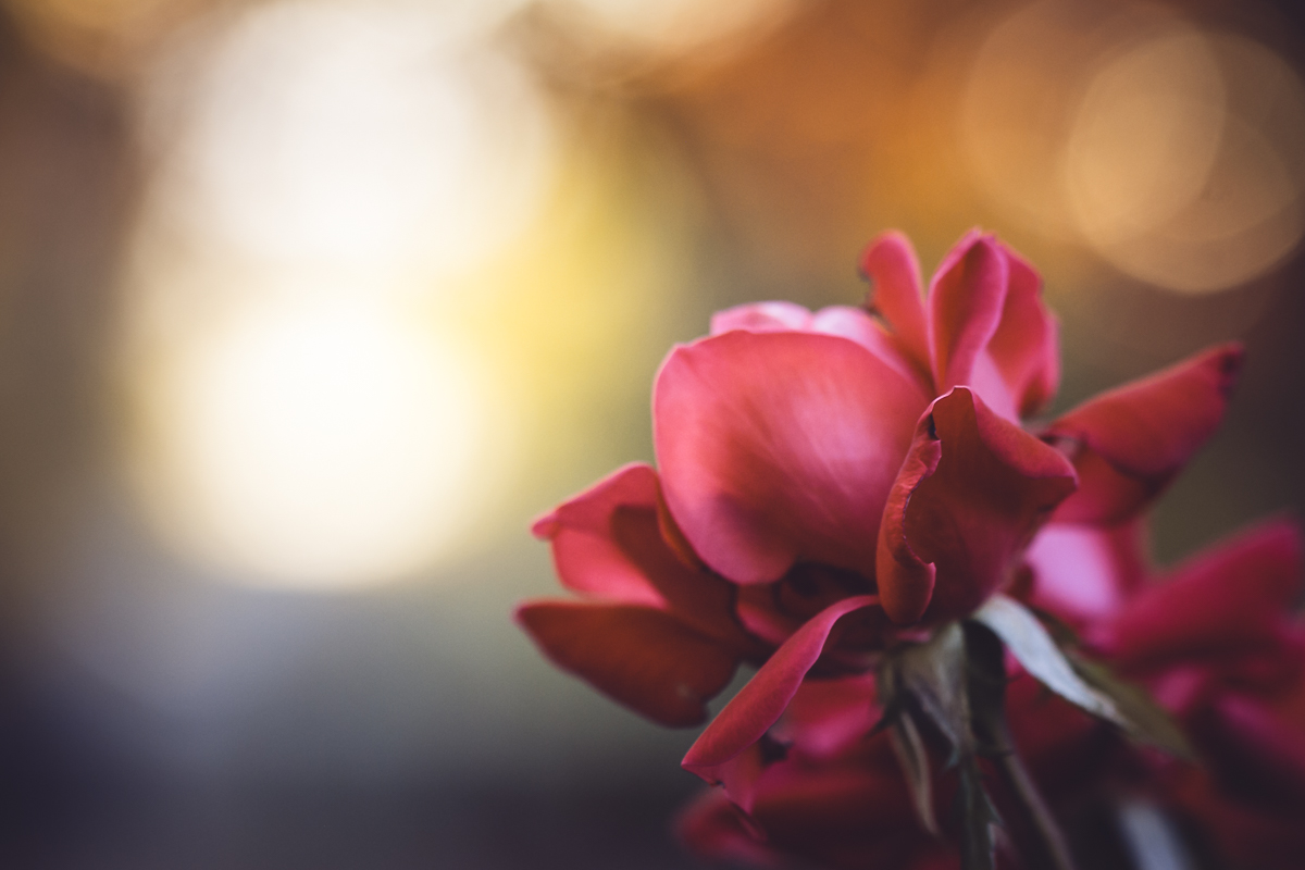 Gather Ye Rosebuds