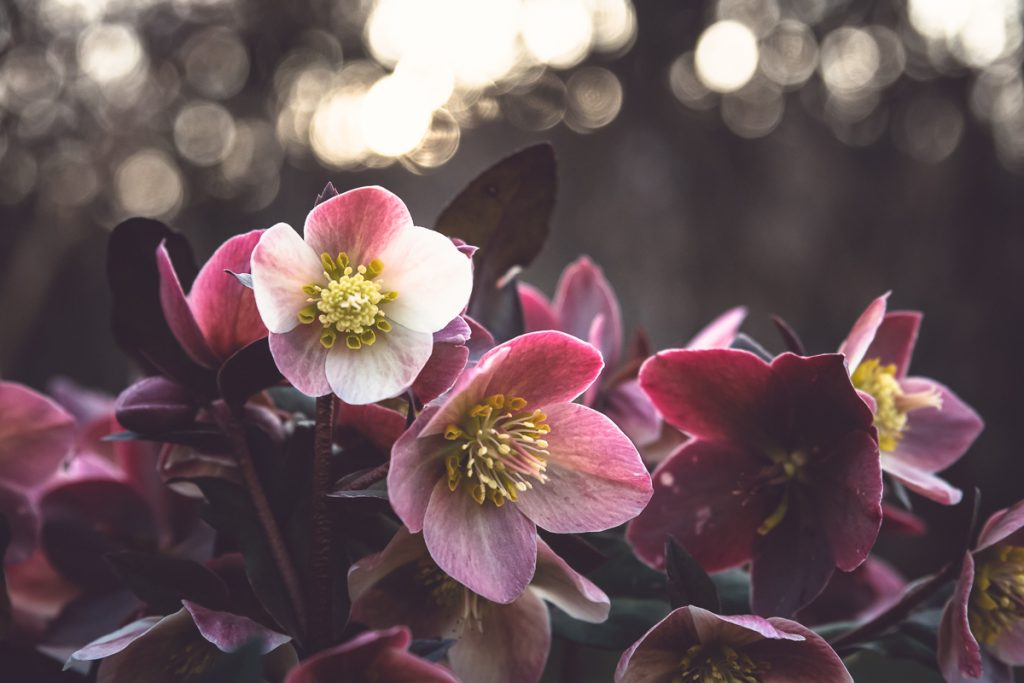 For the Love of Hellebores