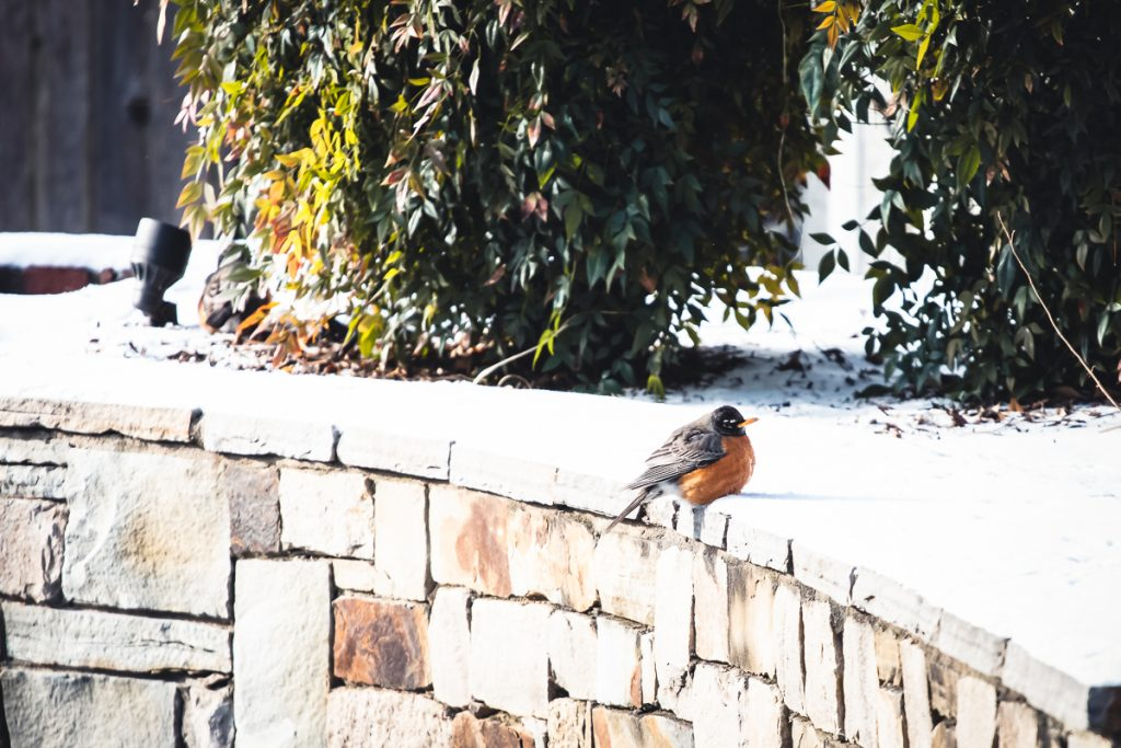Robins in the Neighborhood