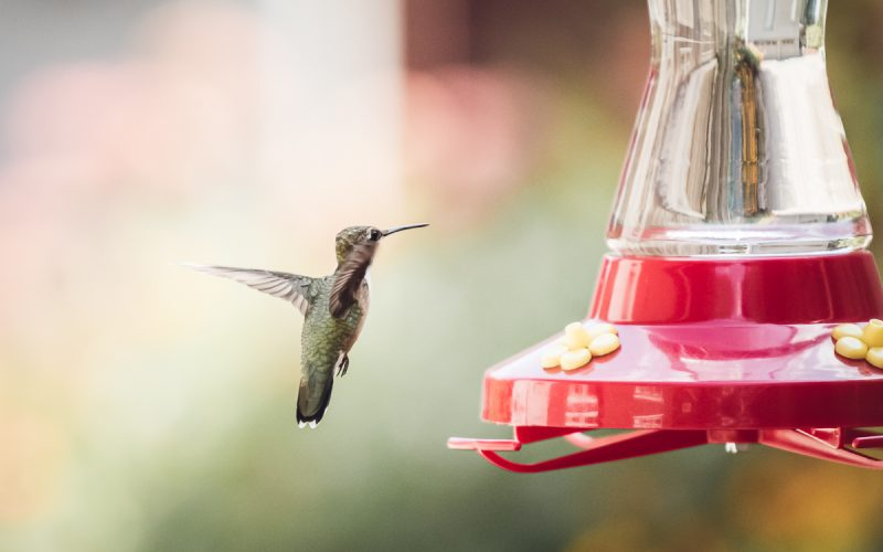The Hummingbirds Have Landed