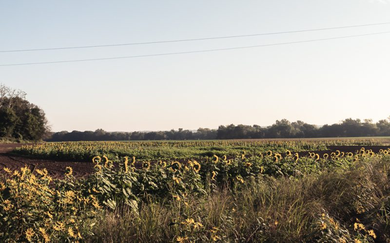 Lessons From A Sunflower Farm