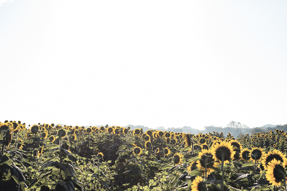 Grinter Sunflower Farm
