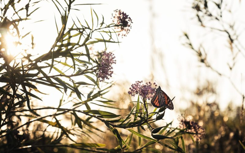 A Gathering Place for Monarchs