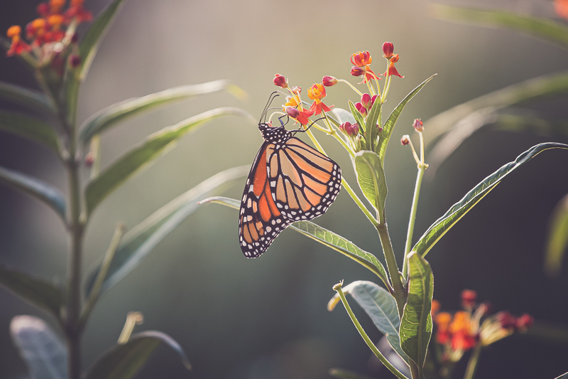 Milkweed + Monarchs | If You Plant It, They Will Come