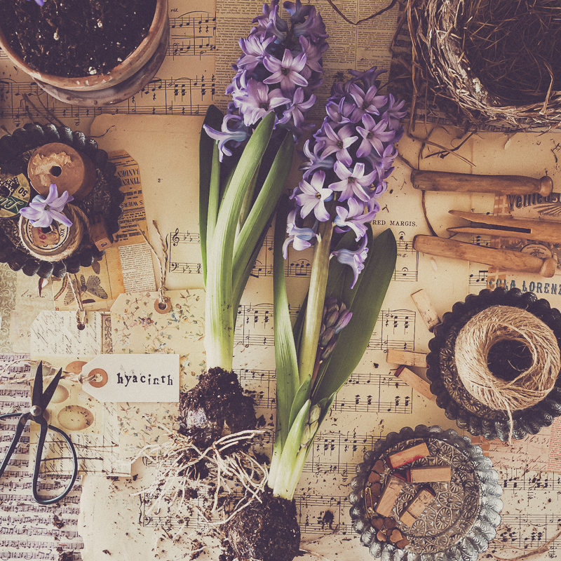 Hyacinths and the Smell of Spring