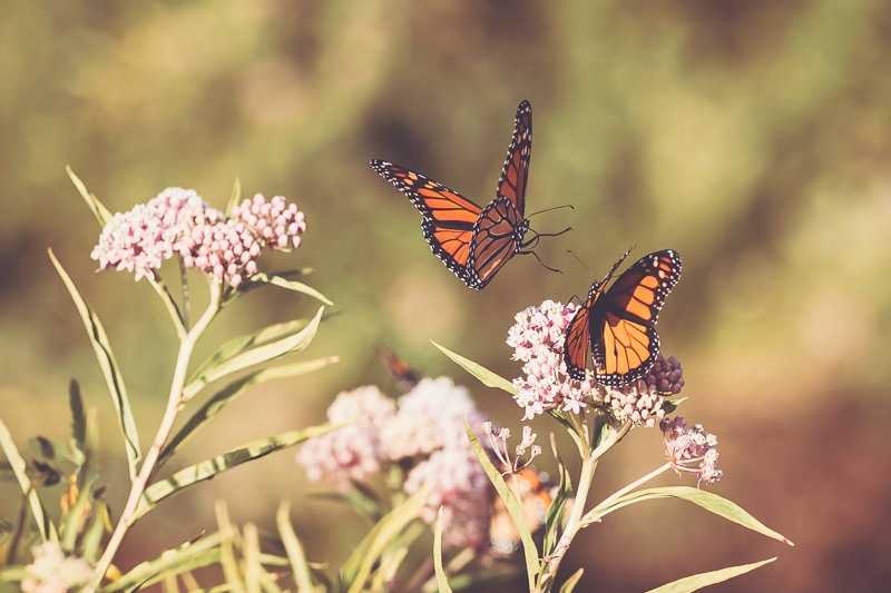 The Migrating Monarchs